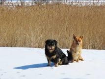 Resto de dos perros en la nieve, Lituania Imagen de archivo libre de regalías