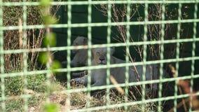 Resto de la leona en el parque zoológico almacen de video