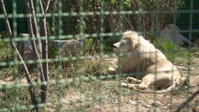 Resto de la leona en el parque zoológico almacen de metraje de vídeo