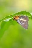 Resto de la mariposa bajo una hoja Fotografía de archivo libre de regalías