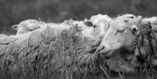 Resto de las ovejas Imagen de archivo