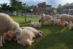 Resto de las ovejas en el campo de hierba Foto de archivo libre de regalías