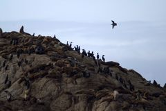 Resto de los sellos y de los cormoranes en una roca Imagen de archivo libre de regalías