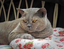 Resto de lujo para el gato británico pedigrí del shorthair fotografía de archivo libre de regalías