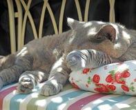 Resto de lujo para el gato británico pedigrí del shorthair imágenes de archivo libres de regalías
