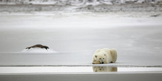 Resto de un oso polar. imágenes de archivo libres de regalías