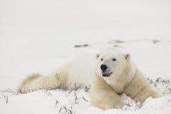 Resto degli orsi polari. Fotografia Stock