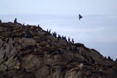 Resto dei cormorani e delle guarnizioni su una roccia Immagine Stock Libera da Diritti