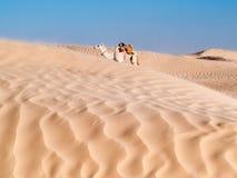Resto del cammello vicino alle dune del deserto di Douz, Tunisia Fotografia Stock