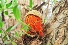 Resto del cangrejo de ermitaño en el miembro Fotografía de archivo libre de regalías