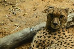 Resto del leopardo en el primer de tierra fotos de archivo libres de regalías