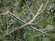 Resto della colomba sull'albero Immagine Stock