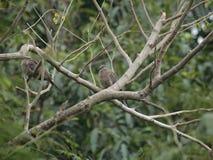 Resto della colomba sull'albero Immagini Stock