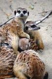 Resto della famiglia dei meerkats fotografie stock