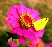 Resto della farfalla Fotografia Stock