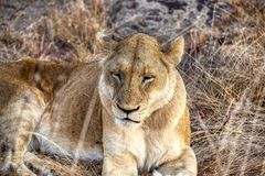 Resto della leonessa un giorno nuvoloso in Kruger fotografia stock