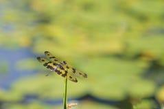 Resto della libellula sulla pianta con la diffusione dell'ala Fotografie Stock