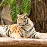 Resto della tigre Immagini Stock