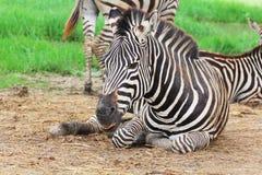 Resto della zebra Fotografia Stock