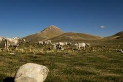 Resto delle mucche fotografie stock libere da diritti