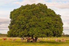 Resto delle mucche al lato dell'albero Fotografia Stock