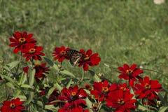 Resto di mattina del ` s del monarca fotografia stock