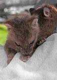 Resto di Rex Fox Kits (vulpes di vulpes) sul braccio di Sweatshirted Fotografie Stock Libere da Diritti