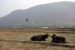 Resto do búfalo de água dois em um campo Fotos de Stock
