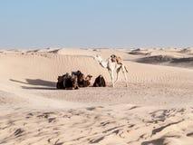 Resto do camelo perto das dunas do deserto de Douz, Tunísia Foto de Stock Royalty Free