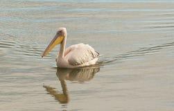 Resto do pelicano na superfície da água Fotos de Stock