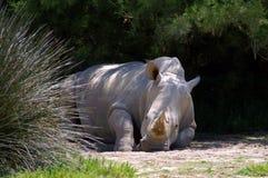 Resto do rinoceronte na máscara fotografia de stock royalty free