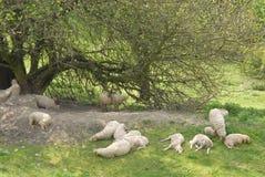 Resto dos carneiros Foto de Stock