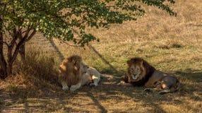 Resto dos leões ao savana árido Fotos de Stock Royalty Free
