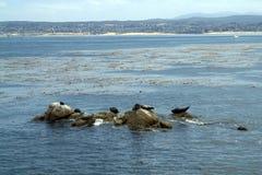 Resto dos selos em rochas perto da costa Imagens de Stock
