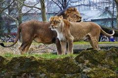 Resto Lion Portrait nel giorno soleggiato Fotografie Stock Libere da Diritti