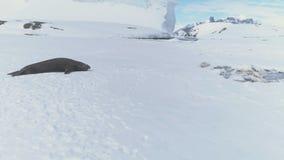 Resto maduro del sello de elefante en superficie antártica del hielo almacen de video