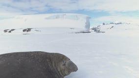 Resto masculino del sello de elefante en superficie de la nieve de la Antártida almacen de metraje de vídeo