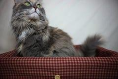 Resto mullido gris hermoso del gato en una cesta en un fondo blanco foto de archivo