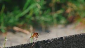 Resto rosso della libellula video d archivio