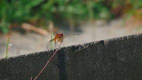 Resto rosso della libellula stock footage