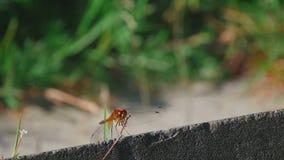 Resto rosso della libellula archivi video
