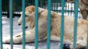 Resto salvaje de la leona del primer dentro de la jaula detrás del enrejado verde almacen de video