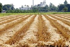 Restolho do arroz Imagens de Stock