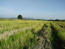 Restolho do arroz imagem de stock royalty free