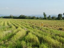 Restolho do arroz fotografia de stock royalty free