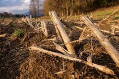 Restolho do milho no campo Fotografia de Stock Royalty Free