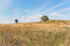 Restolho no campo Colhendo o milho na exploração agrícola Noite do verão no campo Fotos de Stock
