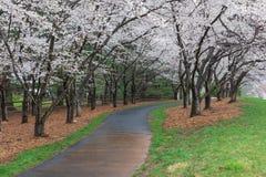 Reston Virginia Path under Cherry Trees in Bloom royalty free stock photos
