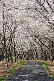 Reston Virginia Pathway under markisen av Cherry Trees royaltyfri bild