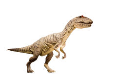 Restoration of an Allosaurus (Allosaurus fragilis) dinosaur isolated. Royalty Free Stock Images